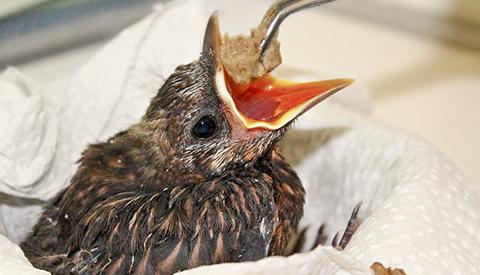 Ontmoet de Galecopper vogelopvang