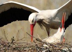 Deel 3 'Ooievaar in Galecop weer terug op zijn nest'