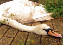 Vervroegd baggeren moet vogellevens in Nieuwegein redden