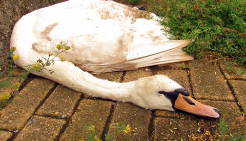 CDA in Nieuwegein stelt vragen over sterfte zwanen