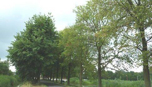 Bomen met iepenziekte zullen binnenkort gerooid worden