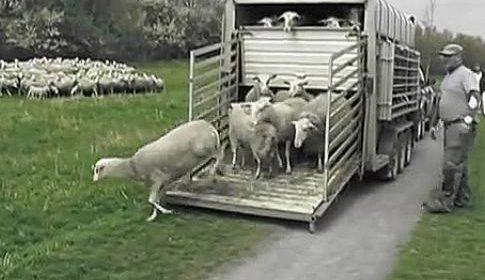 De schapen zijn weer gearriveerd in Nieuwegein