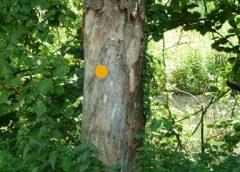 Gemeente neemt bomen met slechte conditie onder de loep