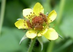 Cursus determineren van wilde planten voor beginners