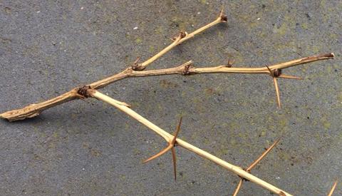 Deel bewoners aan de Aïdalaan zien gevaarlijke stekelbosjes het liefst verdwijnen
