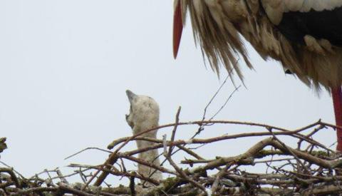 'Ooievaarsjong gespot in nest in Galecop'