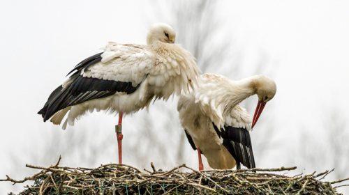 Ooievaars weer op 't nest in Galecop
